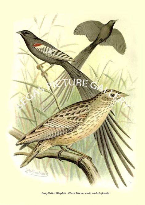 Fine art print of the Long-Tailed Whydah - Chera Procne, male, male & female by the Artist Frederick William Frohawk (1899)